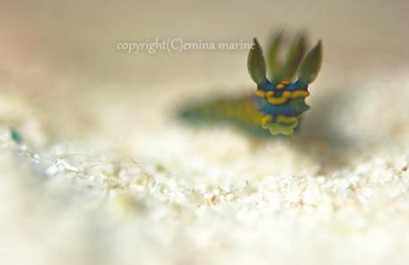 サガミリュウグウウミウシ