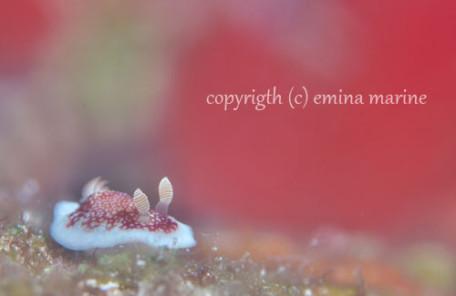 サラサウミウシ