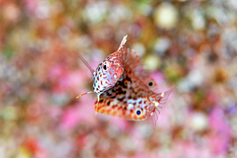 ノドグロベラ幼魚