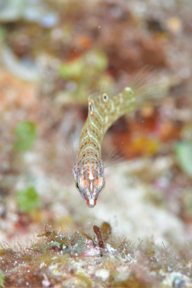 シチセンムスメベラ