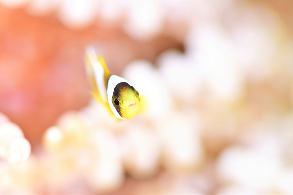 クマノミ幼魚