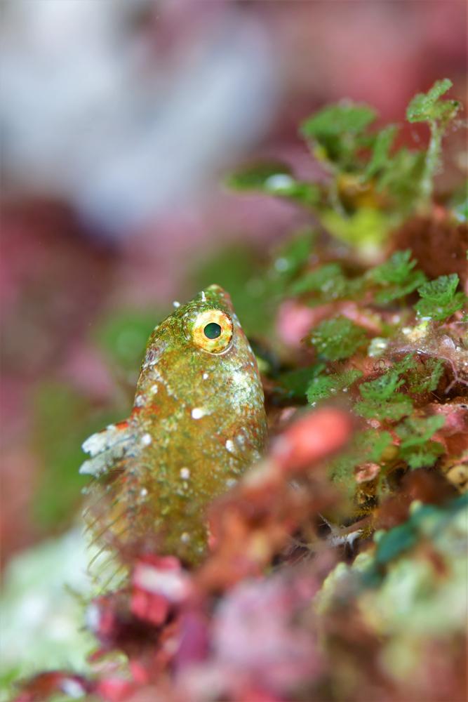 ベラかブダイの幼魚