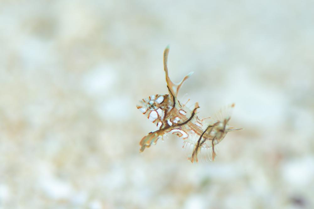 オビテンスモドキ幼魚