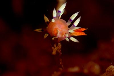 アデヤカミノウミウシ産卵