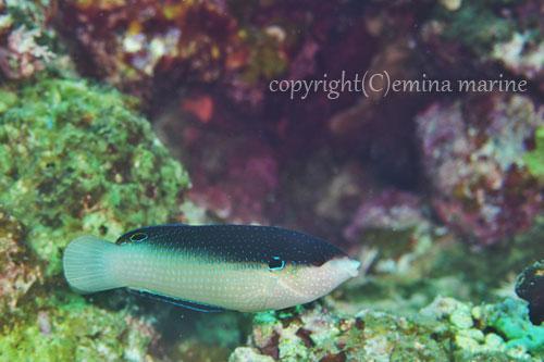 ニューギニアベラ雌