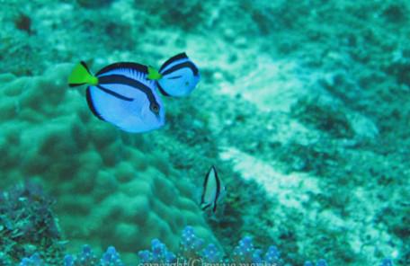 ナンヨウハギ(幼魚)