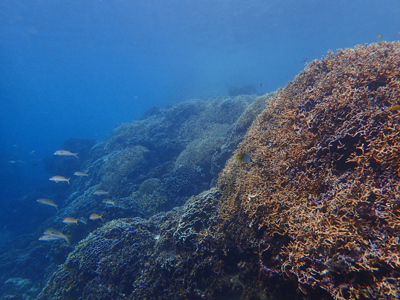 広がるサンゴ2