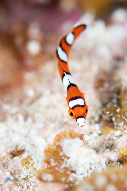 ツユベラ幼魚