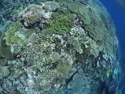 広がるサンゴ
