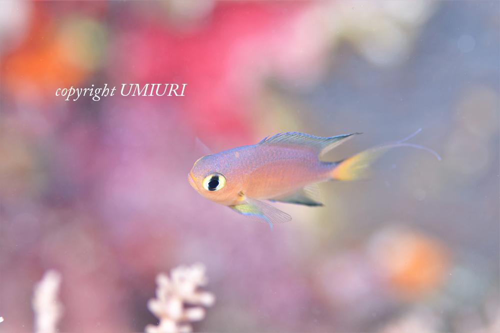 オナガスズメダイの幼魚