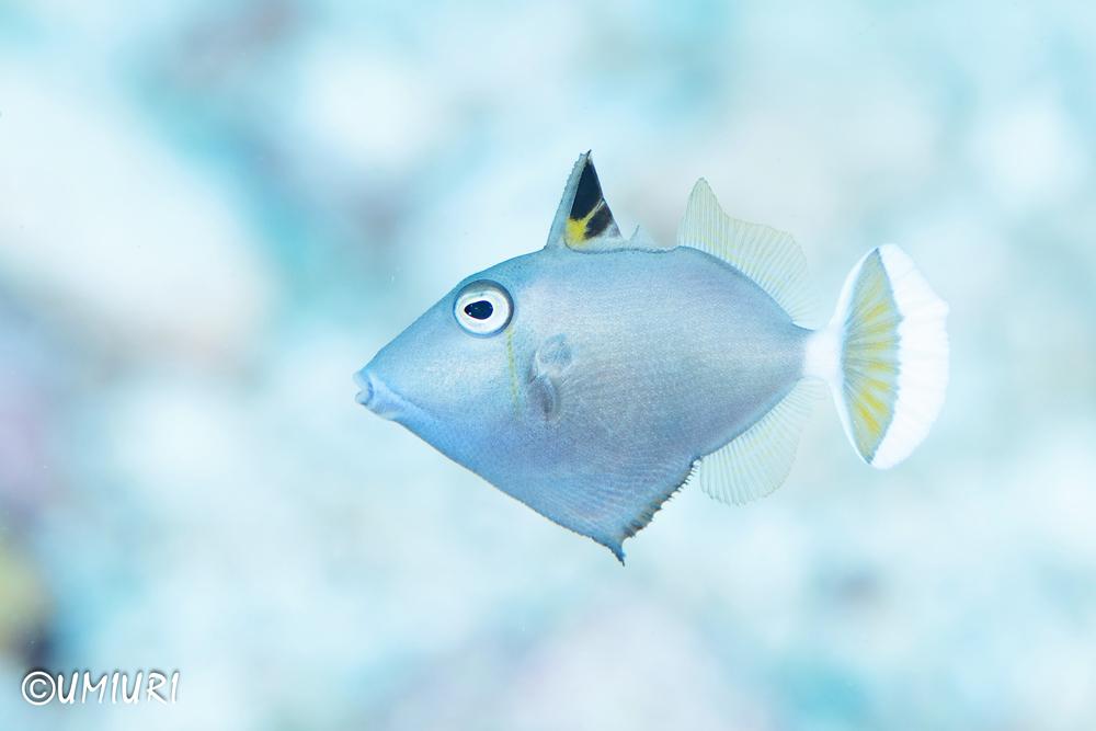 ハギの仲間の幼魚