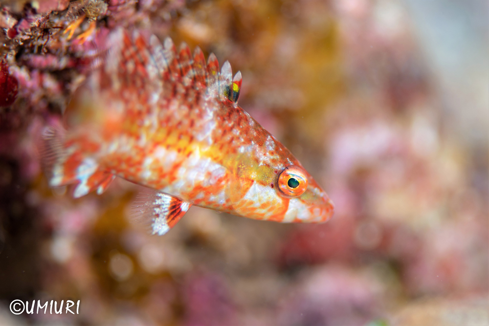 ヒトスジモチノウオ幼魚